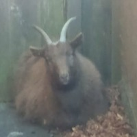 No kidding – police seek to reunite wandering goat with owner