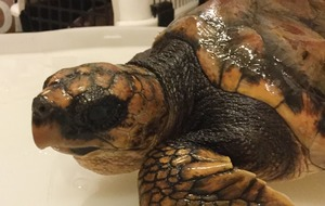 Rare lost turtle washed up on Irish coast beginning to recover