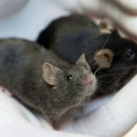 First step taken towards controlling heredity in mammals