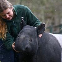 The world's oldest Malayan tapir celebrates 41st birthday at Kent wildlife park