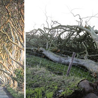 Dark Hedges: Tree uprooted as high winds wreak havoc across Northern Ireland