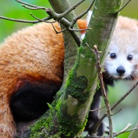 'Cheeky' escapee red panda saw chance to explore, says Belfast zookeeper