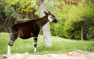 Watch the moment an endangered baby okapi is born at San Diego Zoo