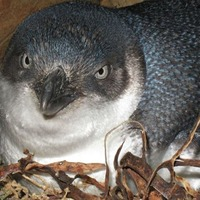 Little blue penguin killed as thieves use crowbar to steal birds from burrow