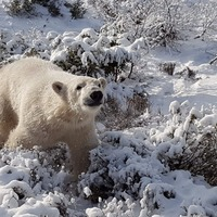 UK's only polar bear cub spotted playing in the snow