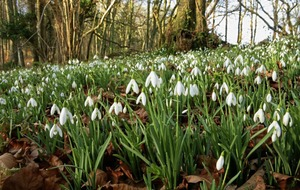 The Casual Gardener: There's been no drop in the appeal of the snowdrop