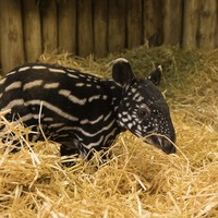Rare Malayan tapir born at Edinburgh Zoo