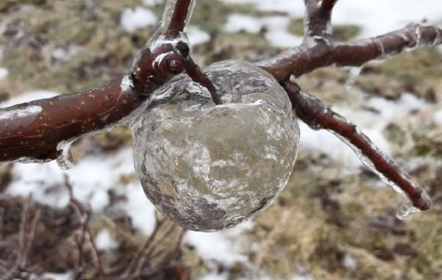 012b23a375 The extremely rare phenomenon appears to be a result of ice forming around  rotting apples in freezing weather.