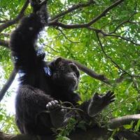 Chimpanzees escape from Belfast Zoo enclosure