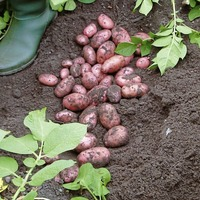 Gardening: Here are three pests and diseases that could threaten your potato crop