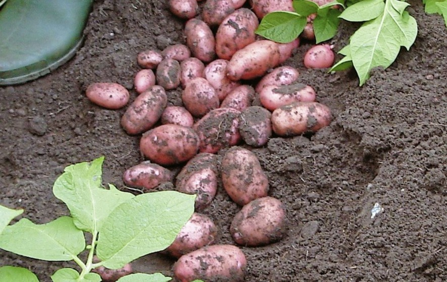 Gardening Here Are Three Pests And Diseases That Could Threaten Your Potato Crop The Irish News