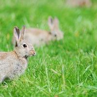DNA from Darwin's rabbit shows myxomatosis battle