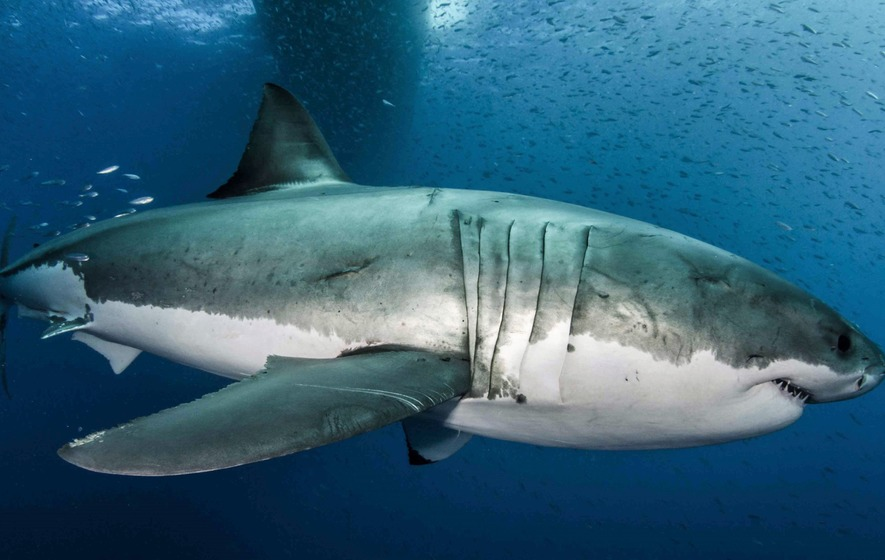 The Real 'Jaws': Great White Shark's Genetic Secrets Revealed