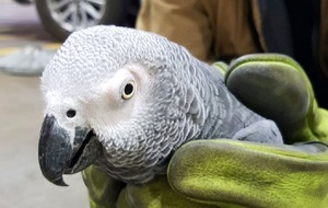 Dublin Airport and Lidl team up to save African grey parrot