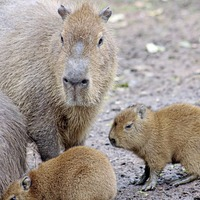 Belfast Zoo celebrating the birth of the third set of capybara babies in the past year