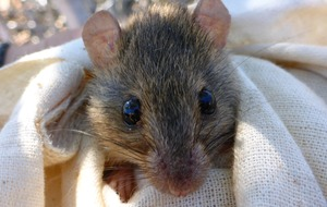 Australian government declares Bramble Cay melomys rodent extinct
