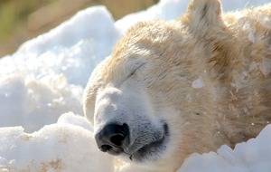 Polar bears play with ice cubes as rangers replicate Arctic conditions