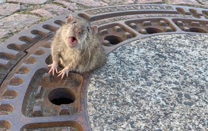Fat rat stuck in manhole cover saved by team of German firefighters