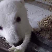 Polar bear cub prepares to meet her public