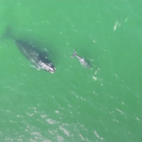 Video shows rare whale and calf swimming with dolphins off Florida coast