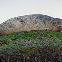 Stranded grey seal rescued from large Second World War pillbox