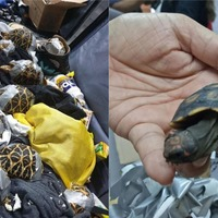 More than 1,500 tortoises and terrapins found in smuggler's luggage at airport