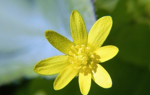 Take On Nature: Have you noticed how the lesser celandine greets the spring sun?