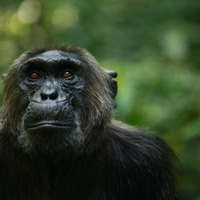 Chimpanzees losing traits in areas of high human impact, study claims