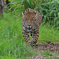 Jaguar attacks woman trying to take photo at zoo