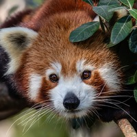 Zoo in Sydney welcomes red panda triplets for the first time
