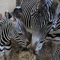 One-month-old zebra foal makes grand entrance in naming ceremony