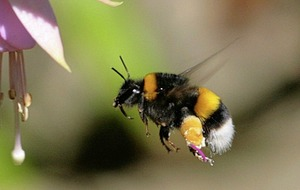 The Casual Gardener: Being good to bees can help biodiversity overall in Ireland