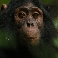 Scientists capture diverse reactions of wild apes to camera traps