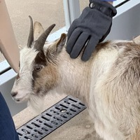 Commuters amused as missing pygmy goat found at tram platform in Manchester