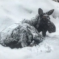 Library forced to shut due to napping moose