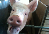 Facial recognition technology used to discover emotional state of pigs