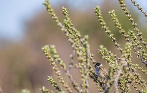 Stephen Colton's Take on Nature: Reed bunting heralds the rowdy month of March