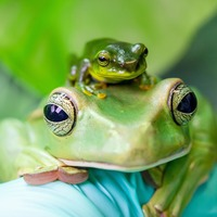 Zoo celebrates breeding success of Thao whipping frog