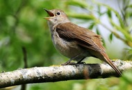 RSPB aims to conquer charts with single of birdsong