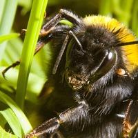 Beware of queen bees under your feet, say scientists