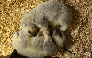 Whipsnade Zoo welcomes two 'rare' baby wolverines