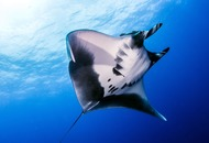 Watch: Pregnant manta ray spotted 6,000km from home