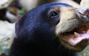 Bears observed imitating facial expressions for first time, researchers say