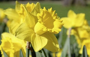 The Casual Gardener: Wander through your own host of golden daffodils
