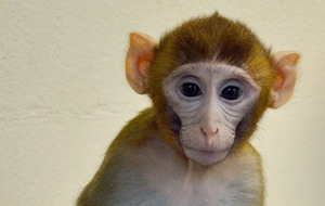 Monkey born from frozen testicular tissue offers fertility treatment hope
