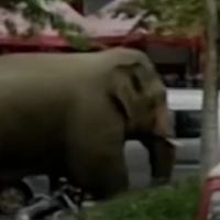 Wild elephant wanders around busy Chinese town