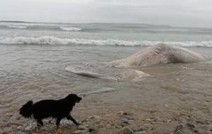 Huge sperm whale washed up on County Donegal beach