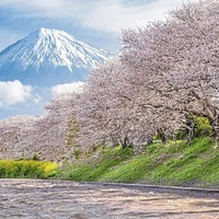 Radio review: Love of cherry blossomed in Japan