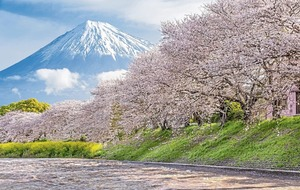 Casual Gardener: how Japan's iconic trees were saved by 'Cherry' aid