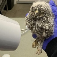 Owl that was presumed dead revived with hairdryer
